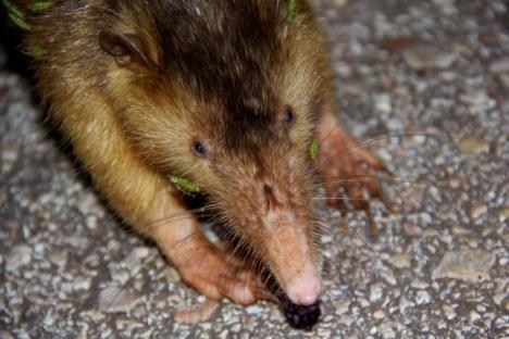 Poco conocido en la República Dominicana y en el exterior, el solenodonte de La Española es uno de los mamíferos más extraños y antiguos del planeta. Foto: Tiffany Roufs.