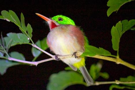 Barrancolí Picogrueso (Todus subulatus), una especie que solo se encuentra en La Española. Foto: Tiffany Roufs.