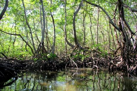 La República Dominicana tiene la mayor extensión de manglares del Caribe, muchos de ellos en buenas condiciones. Foto: Tiffany Roufs.