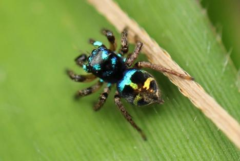 Mini araña saltarina no identificada en el bosque nubosos en la Reserva Científica Ébano Verde. Foto: Tiffany Roufs.