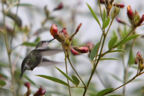 El zumbador esmeralda (Chlorostilbon swainsonii), el segundo colibrí más pequeño del mundo. Foto: Tiffany Roufs.