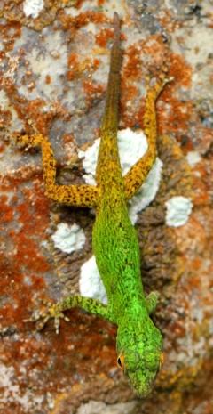 Anole no identificado en el Parque Nacional Los Haitises. Foto: Jeremy Hance.